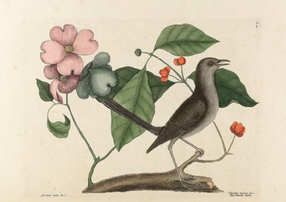 Catesby, Mark: The Mock Bird. Fine Art Print/Poster (4742)